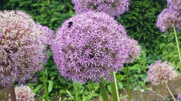 Howick alliums