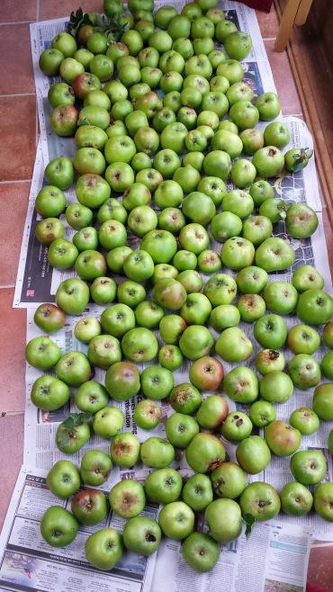apples harvested