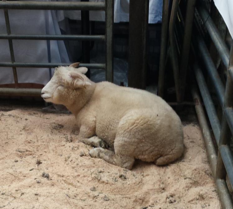 yarndale-sheep.jpg