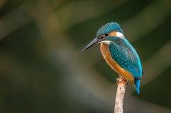 kingfisher vincent-van-zalinge