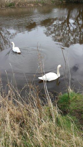 n swans